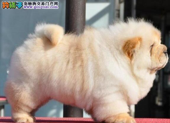 出售血统正宗的西安松狮犬保纯保健康签购买协议1