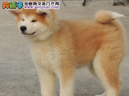 秋田犬也像其他狗狗那样具有广食性的特点么5