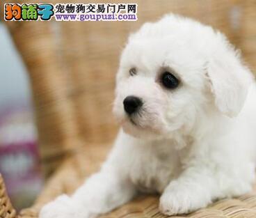 贵阳正规犬业处理多只比熊犬 棉花糖版品相签协议