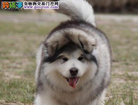 广州售高品质阿拉 大阿 阿拉斯加雪橇犬