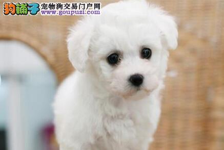 限量精品比熊幼犬郑州特价出售 纯种长卷毛 小型哦
