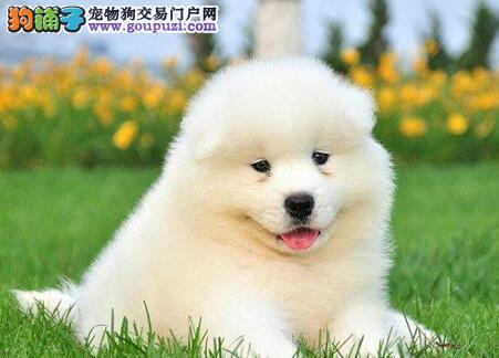 上海犬场出售极品纯白色微笑天使萨摩耶包纯种包健康