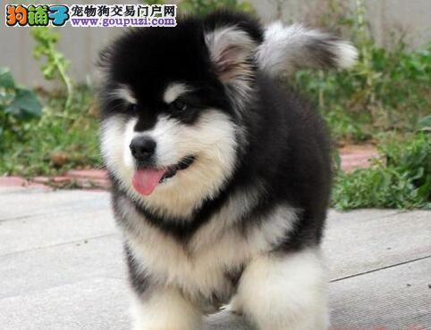 特价直销凶猛忠诚的阿拉斯加雪橇犬宝宝