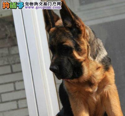 北京出售德国牧羊犬幼犬可上门看狗保纯种保健康图片