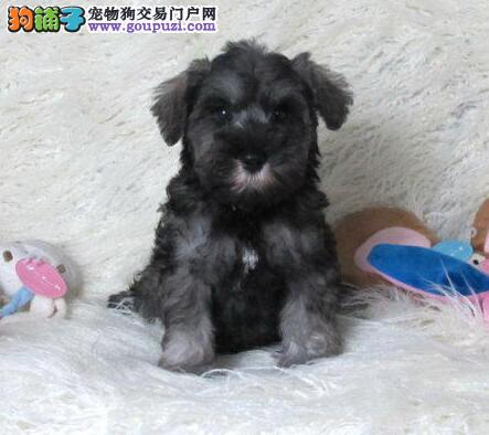 出售活泼可爱迷你品相的广州雪纳瑞幼犬 欢迎上门选购