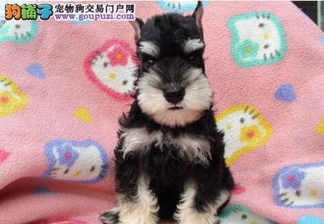 北京自家出售椒盐色黑银色雪纳瑞犬保纯种健康雪纳瑞