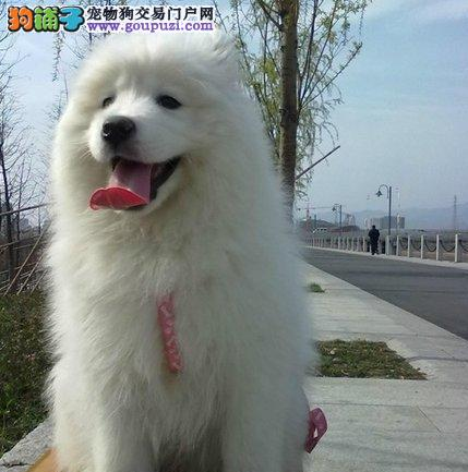 昆明出售萨摩耶幼犬微笑天使可签买狗协议漂亮西摩犬