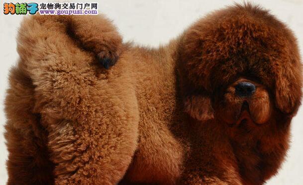 兰州知名獒园直销纯血统的藏獒幼崽 大狮子头铁头包金