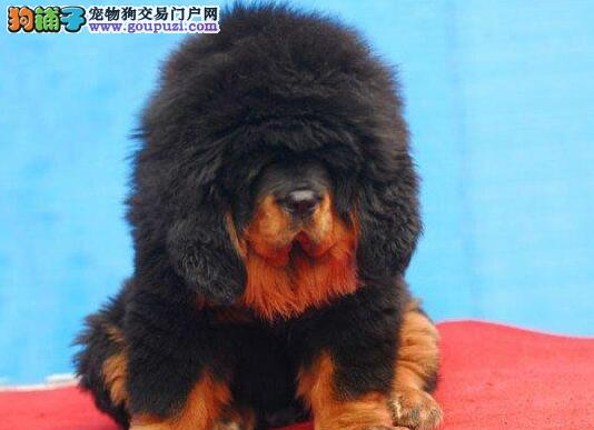 原生态系獒犬 低价出售 带血统芯片