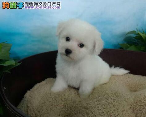 兰州大型狗场出售棉花糖版的比熊犬 雪白卷毛品相极佳