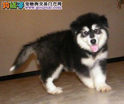 专业繁殖出售广州阿拉斯加犬 建议直接上门看狗选购