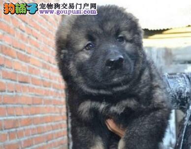 呼和浩特狗场出售高大威猛英勇帅气的高加索犬 质保