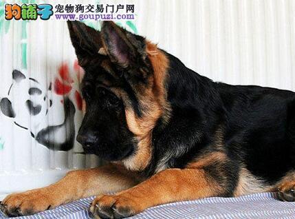 精品赛级德国牧羊犬 CKU认证品质 微信咨询看狗