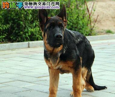 正品大头锤系苏州德国牧羊犬转让 可来犬舍当面看狗