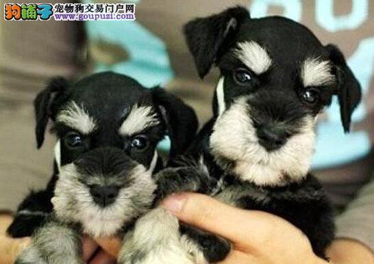 宠物级雪纳瑞犬  赛级雪纳瑞犬 上海支持送货上门