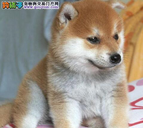 出售秋田幼犬-纯种健康-品质终身质保,本市免费送货图片