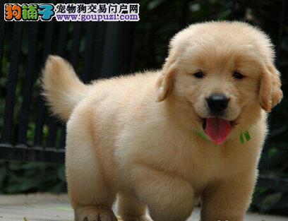 赛级金毛 枫叶血统 唐山犬舍直销 健康质保品相一流