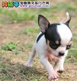 北京猛犬繁殖基地健康可爱乖巧的吉娃娃出手了