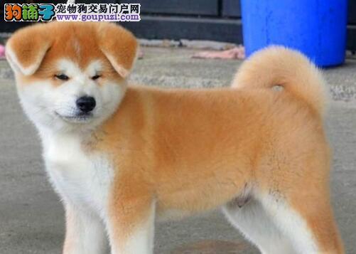 专业繁殖双血统秋田犬出售武汉周边地区购犬有礼品