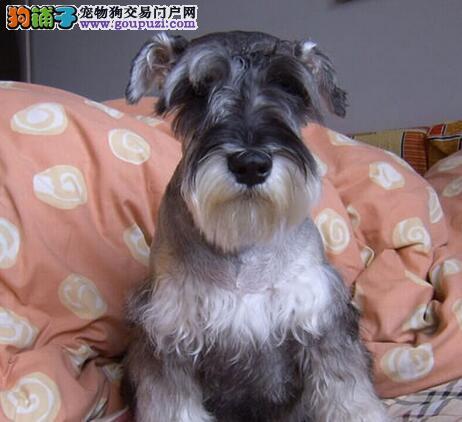 北京售极品雪纳瑞幼犬小雪公狗疫苗驱虫已做图片