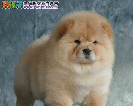 赛级松狮宝宝、保证品质一流、提供养狗指导