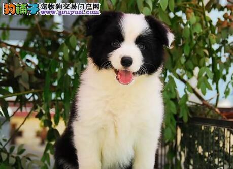 CKU犬舍认证西安出售纯种边境牧羊犬外地可空运已驱虫
