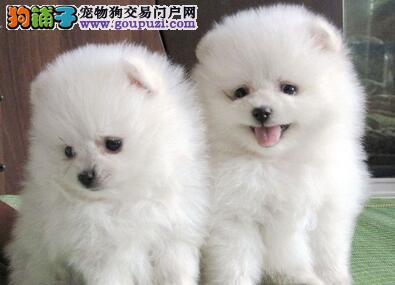 朝阳区直销博美犬狐狸犬已驱虫可视频看狗签协议