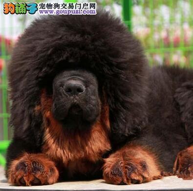 纯种藏獒出售 园林獒园 幼獒 2.3.4个月藏獒红獒图片