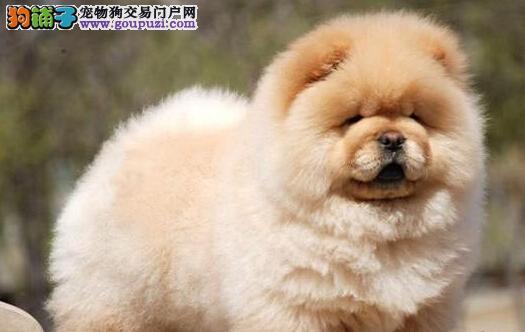 精品纯种北京松狮出售质量三包购犬可签协议