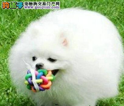 包健康广州出售博美幼犬狐狸犬英系博美可签协议