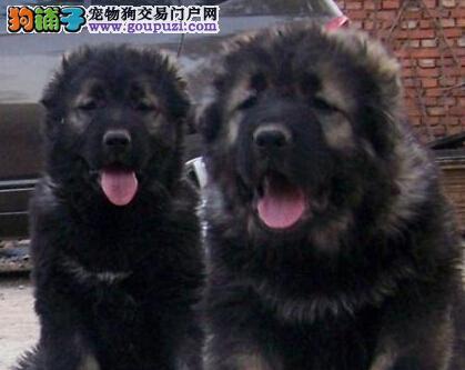 千万狗民的选择 最忠实的高加索宝宝郑州签协议出售