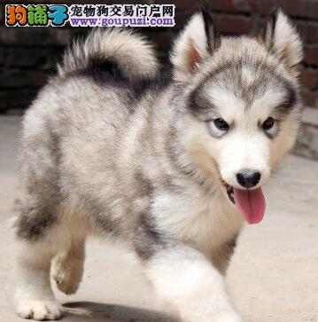出售巨型纯种阿拉斯加幼犬图片