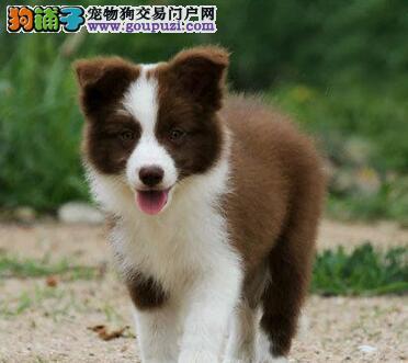 家养纯种杭州边境牧羊犬转让售后可签订活体