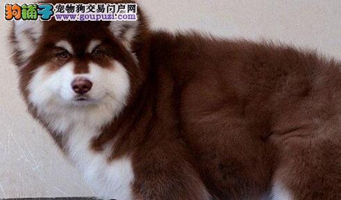 专业繁殖纯种 赛级巨型阿拉斯加犬 宠物级阿拉斯加犬