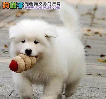 武汉CKU认证犬舍出售高品质萨摩耶签署质保合同2