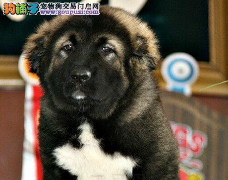 出售优质长沙高加索犬 品质好价格低欢迎大家来购买