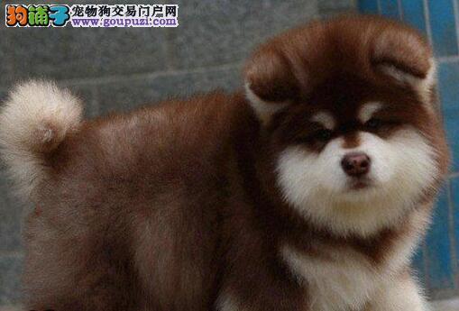 长沙犬舍出售纯种阿拉斯加雪橇犬灰色红色黑白阿拉