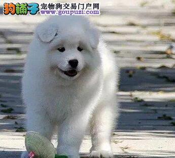北京市澳版熊版纯白萨摩耶、签终身健康纯种合同