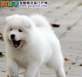武汉CKU认证犬舍出售高品质萨摩耶签署质保合同3