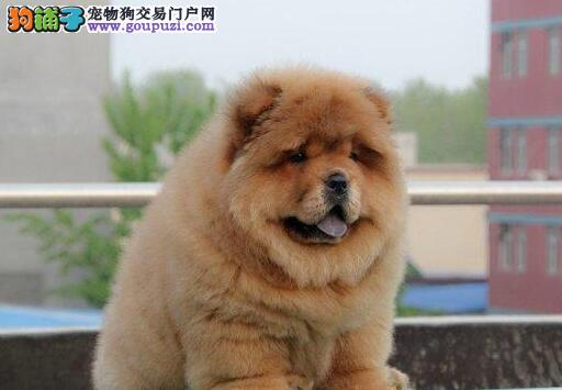 出售憨厚可爱肉乎乎的松狮犬 青岛地区购犬可送货上门