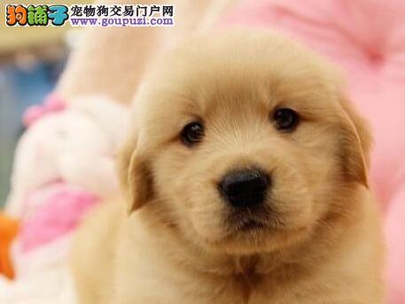 出售多种颜色纯种金毛幼犬价格美丽非诚勿扰