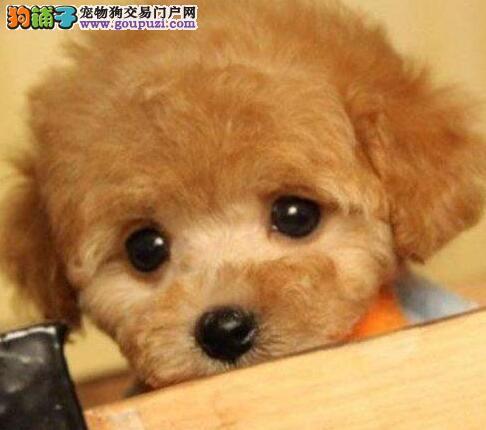 正品韩系福州泰迪犬转让 品种齐全有血统证书品相好