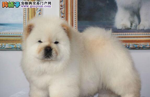 低价转让纯种九江松狮犬公母都有购买签订活体协议3