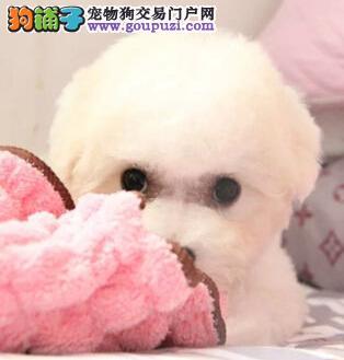 女神必备爱犬棉花糖比熊宝宝出售签协议包活包健康
