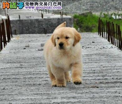 顶级优秀狗场出售精品哈尔滨金毛犬 可办理血统证书