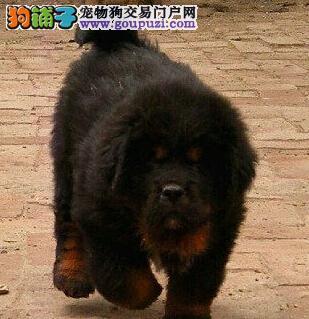 纯种 西藏原生态 藏獒犬 藏獒幼犬 铁包金 狮头藏獒