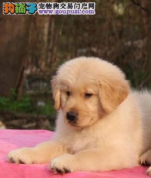 出售自家繁殖的金毛幼犬,绝对纯种 保证健康