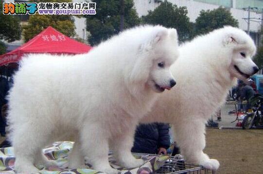 济南正规养殖基地出售雪白色的萨摩耶幼犬 品相超级好