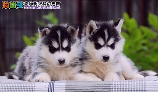 上海魔力狗三火蓝眼哈士奇雪橇犬纯种专业繁殖