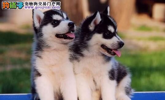 FCI国际犬舍繁殖纯种黑白哈士奇宝宝支持视频看狗图片